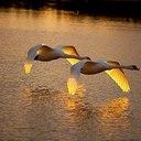 Лебеди на закате...